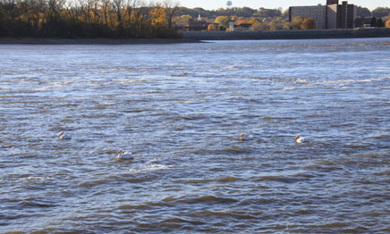 Photo of birds in the Mississippi River